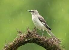 Многоголосый пересмешник - Northern Mockingbird