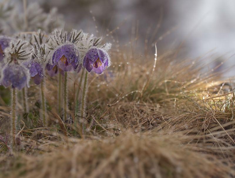 сон-трава, прострел, якутия, нерюнгри, май Майскиеphoto preview