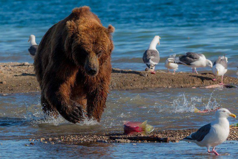 Камчатка, лето, природа, путешествие, медведь, рыба  Ленивая рыбалкаphoto preview