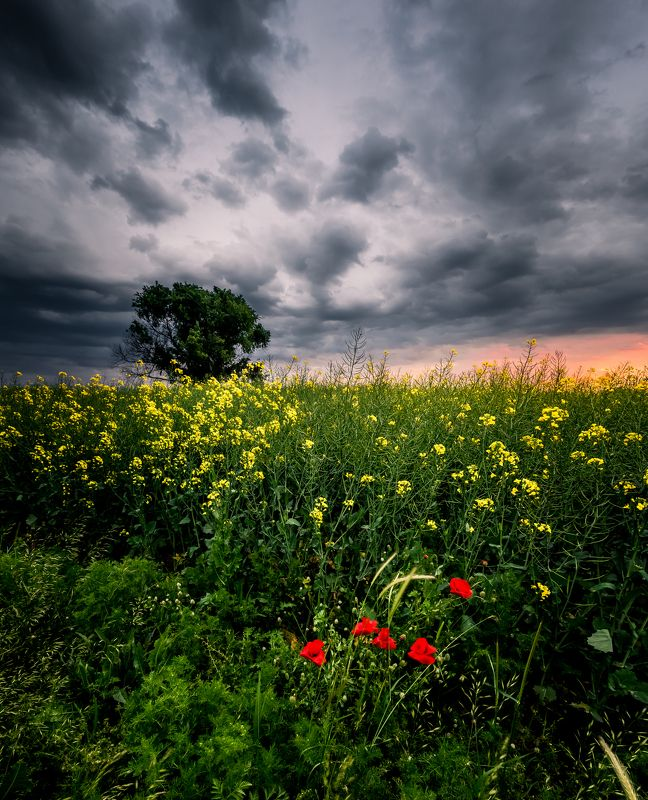 spring,field,tree,sunset,poppy,grass,flowers,clouds,dramatic,sky In the fieldphoto preview