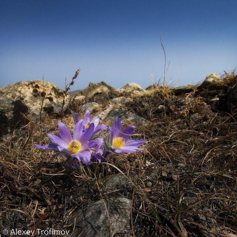байкал, прострел, подснежники, сон-трава, весна, цветы, цветок Подснежники Байкалаphoto preview