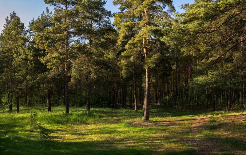 лес, сосны, трава, май Сосныphoto preview