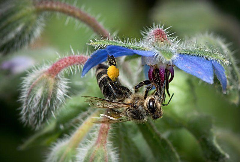 макро; пчела ; мёд * * *photo preview