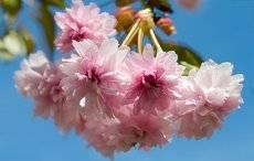 сакуры цветение