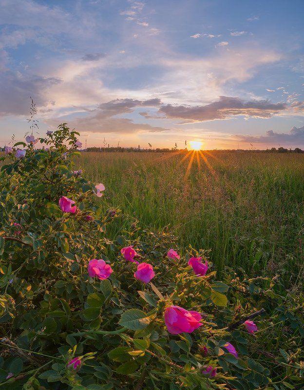май, вечер, цвет, шиповника Цвет шиповникаphoto preview