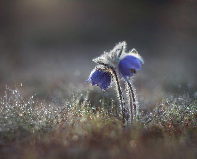 сон-трава, прострел, якутия, нерюнгри, май Вместе...photo preview