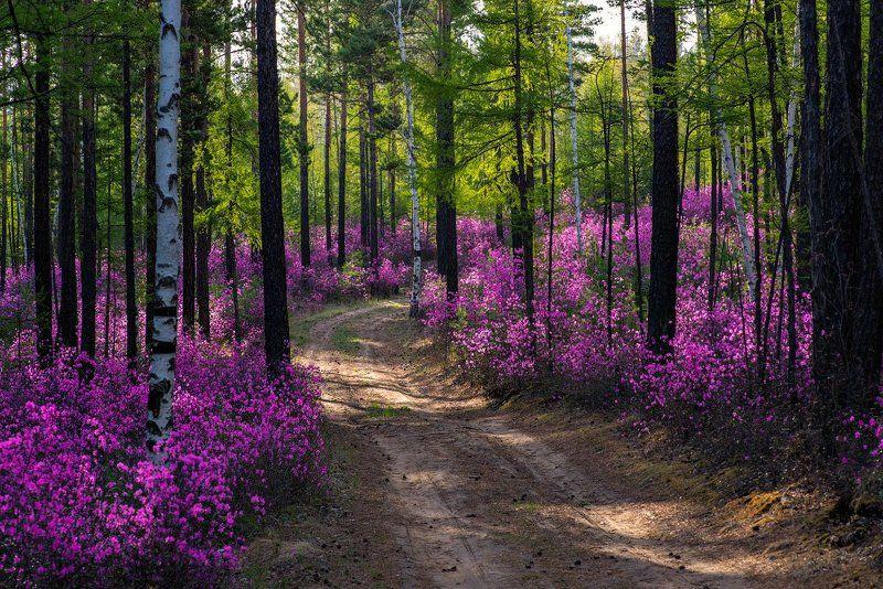 Дорога в багульниковом лесуphoto preview