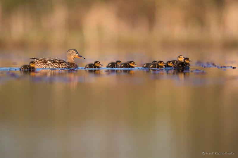 mallard, mkkaczy, ducks, ducklings Mommy will teach usphoto preview