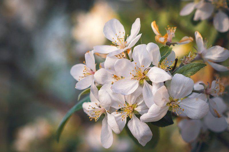 Яблоневый цветphoto preview