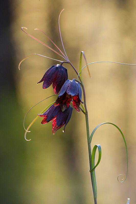 весна, зелень, листья, лес, цветы, московская область, подмосковье Pro Рябчик-цветок...photo preview
