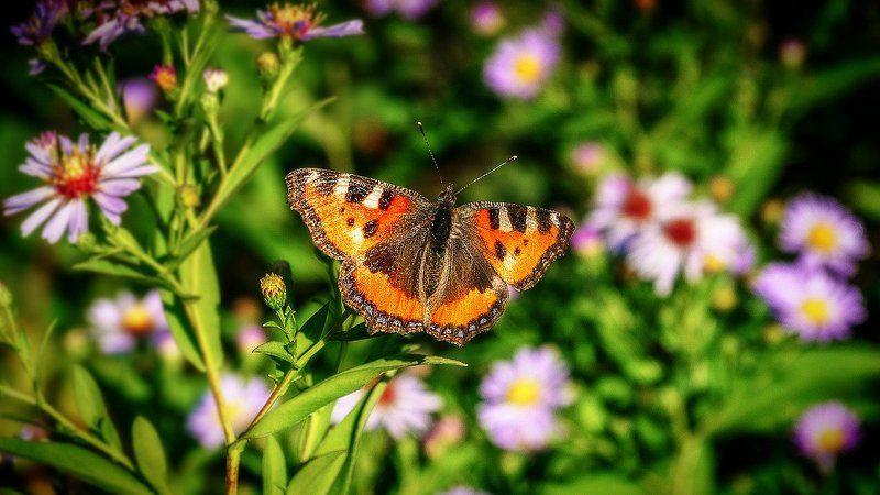 макро, осень, бабочка  Красотка. photo preview