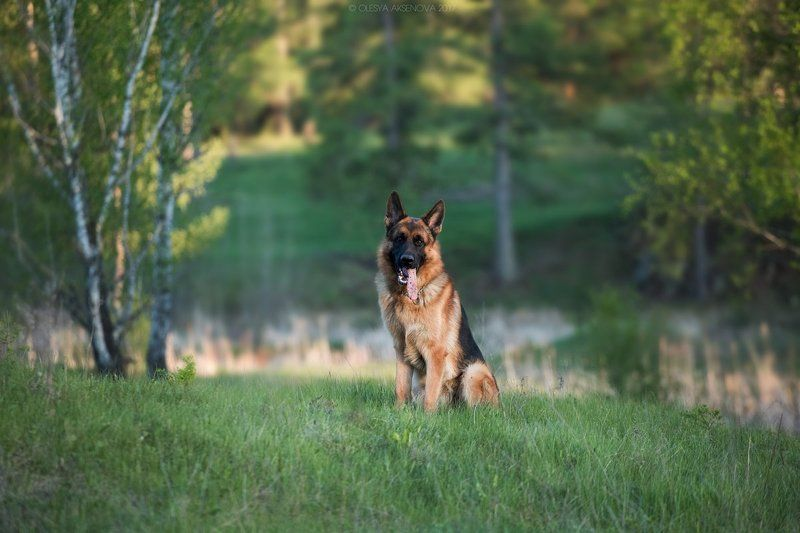 German shepherd dog, winter, dog, Pets, animals, love, man, snow, cold, puppy, baby, forest, beauty, black, tank, army, celebration  photo preview