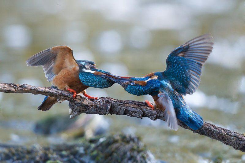 kingfishers swordsmenphoto preview