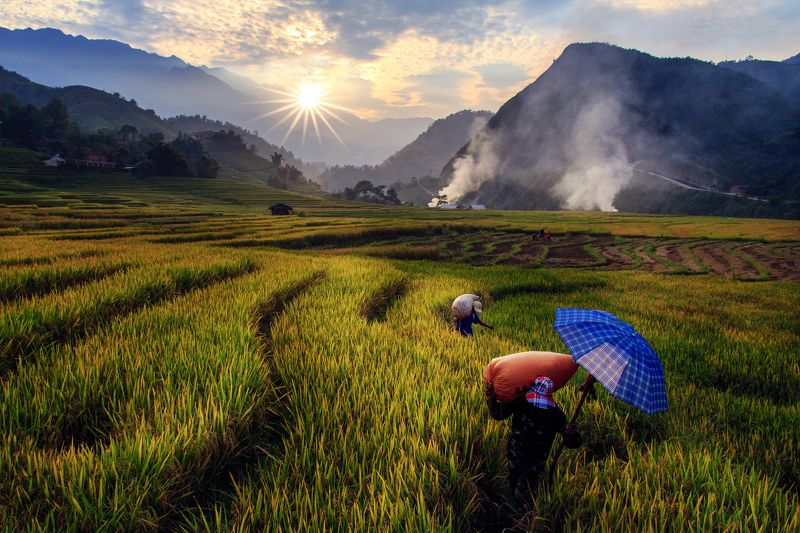 viet nam Harvesting rice in terraced fields in Northwest of Vietnamphoto preview