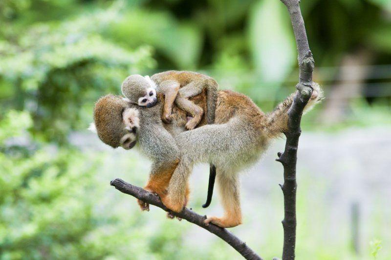 golden,monkey photo preview