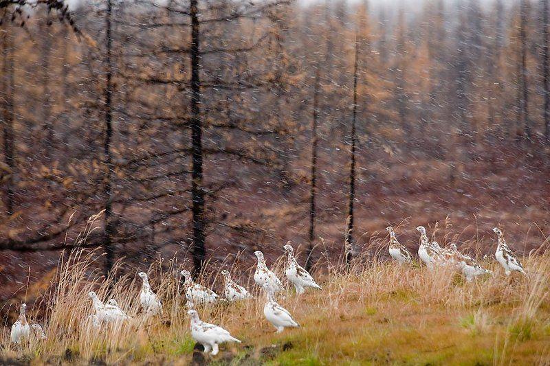 природа, север, осень, пейзаж, животные, птицы, куропатки в ожидании зимыphoto preview