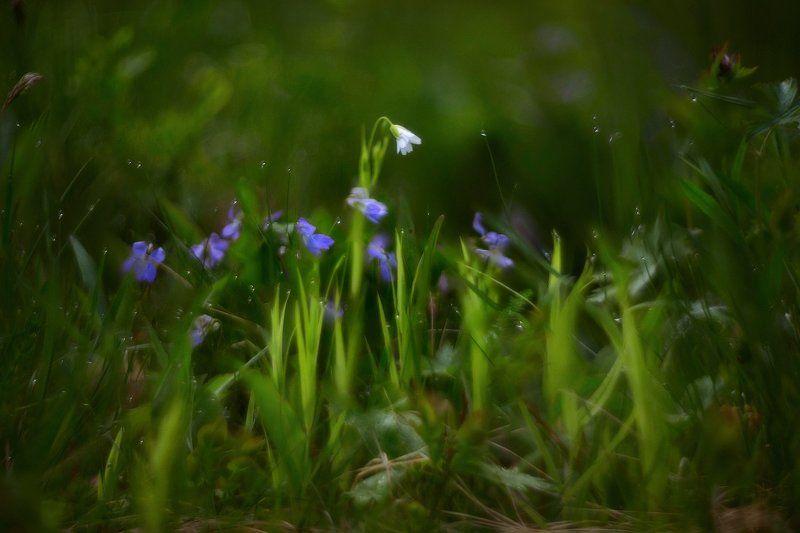 макро, цветы, гелиос Белоснежка. . . пробуждение. . .photo preview