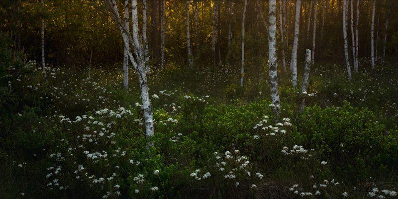 Цветет багульник на болотеphoto preview