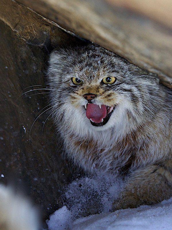 манул,дикий кот,респ.алтай,март,дикая природа портрет манулаphoto preview