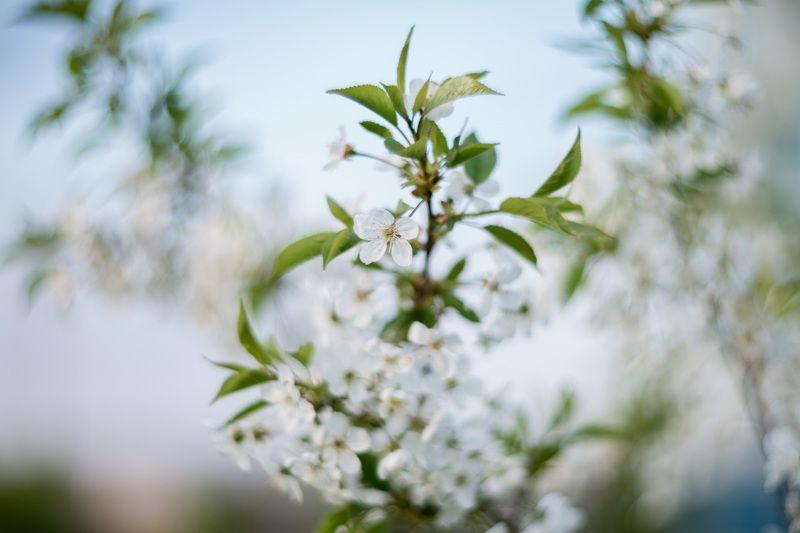цветение, макро, гелиос, мануал, Цветущий май.photo preview