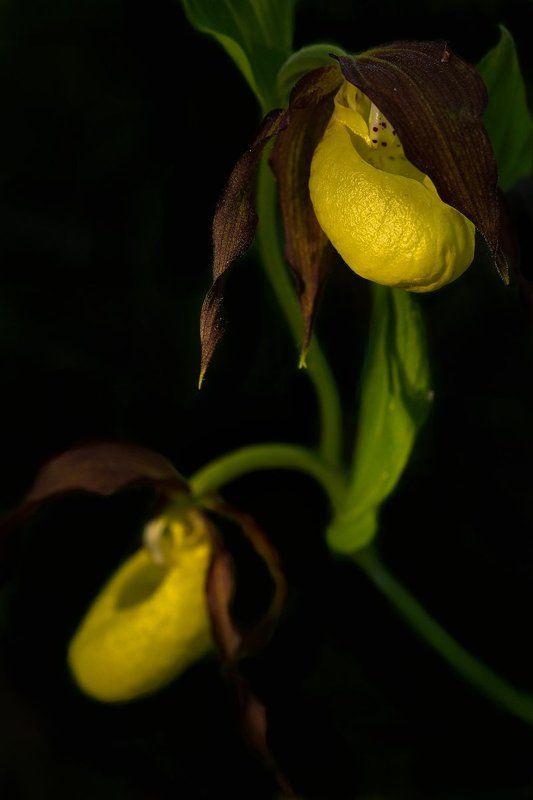 венерин, башмачок., орхидеи Портрет на чёрном фоне...photo preview