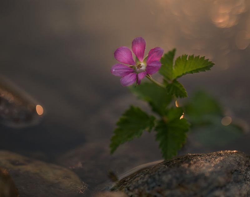 ягода, княженика, цветет княженика, якутия, нерюнгри Княженика цвететphoto preview