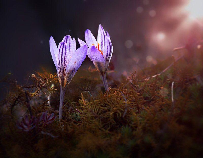 крокусы, цветы, флора, весна \