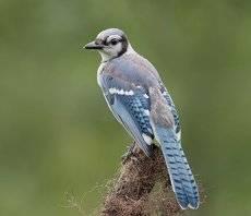 Голубая сойка  - Blue Jay (Juvenile)