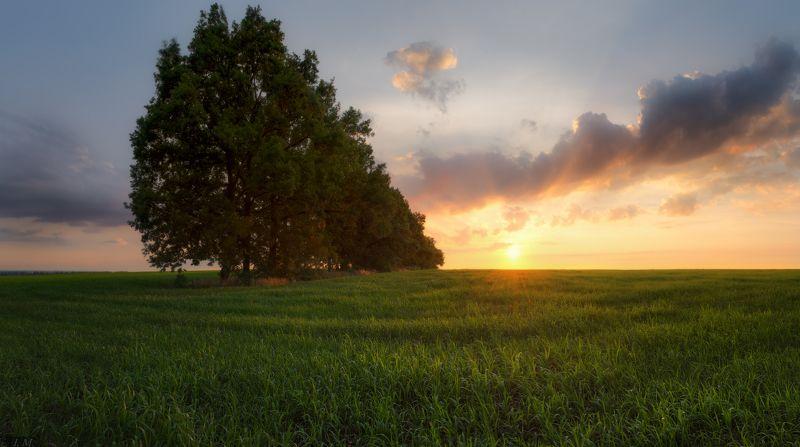 вечер, закат, поле, деревья, роща, облака, свет, лето, июнь, Summer, evening, light, trees, field, sunset, clouds, sky, panorama, wide angle, june, панорама, oak, grove, grass,  дубовая рощица в полеphoto preview