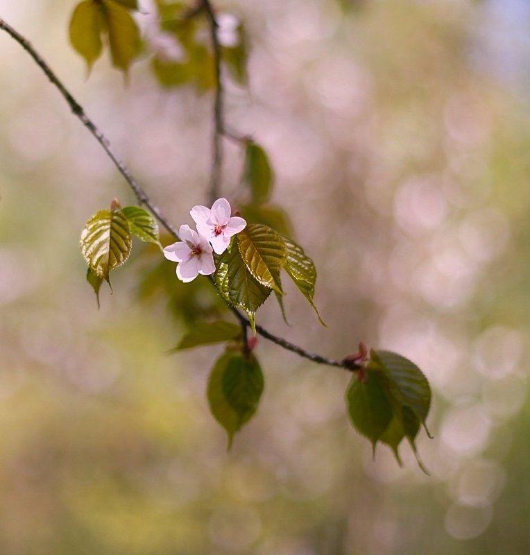 sakura, сакура, весна, spring, цветы, flowers Sakuraphoto preview