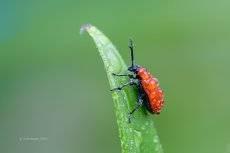 Лилейный жук