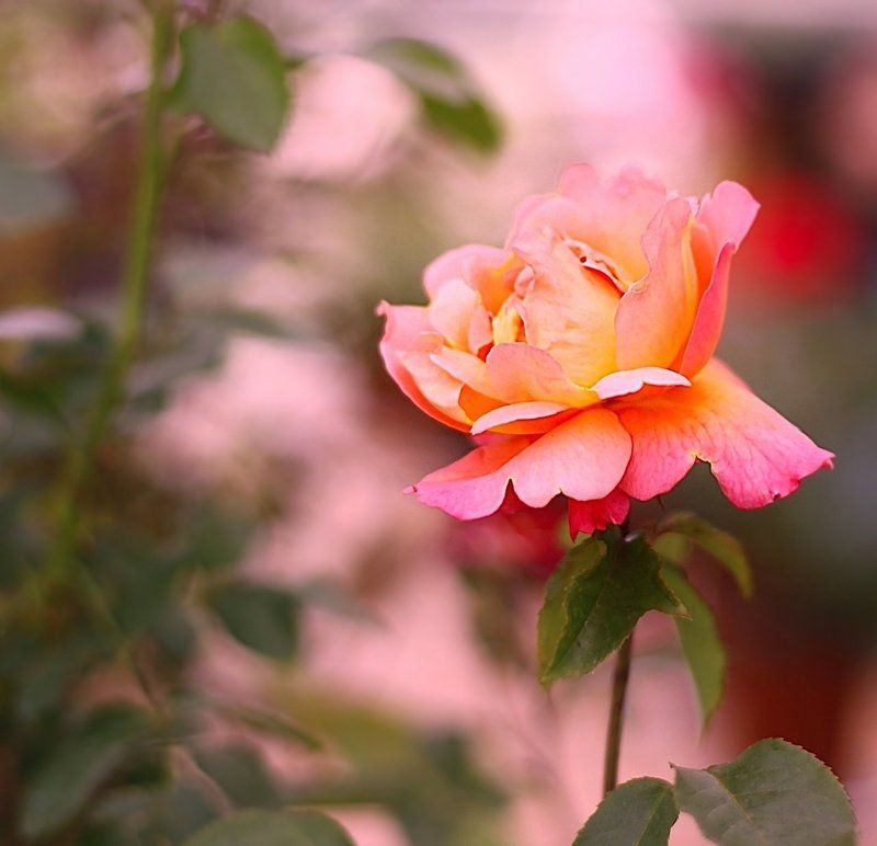 розы, rose, цветы, flowers Rosephoto preview