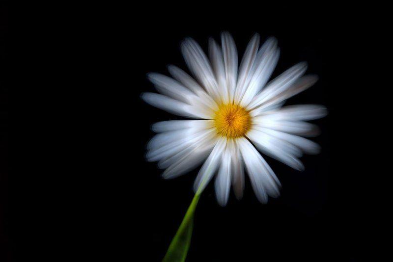 ромашка, цветок, зум, daisy, flower, zoom Ромашкаphoto preview