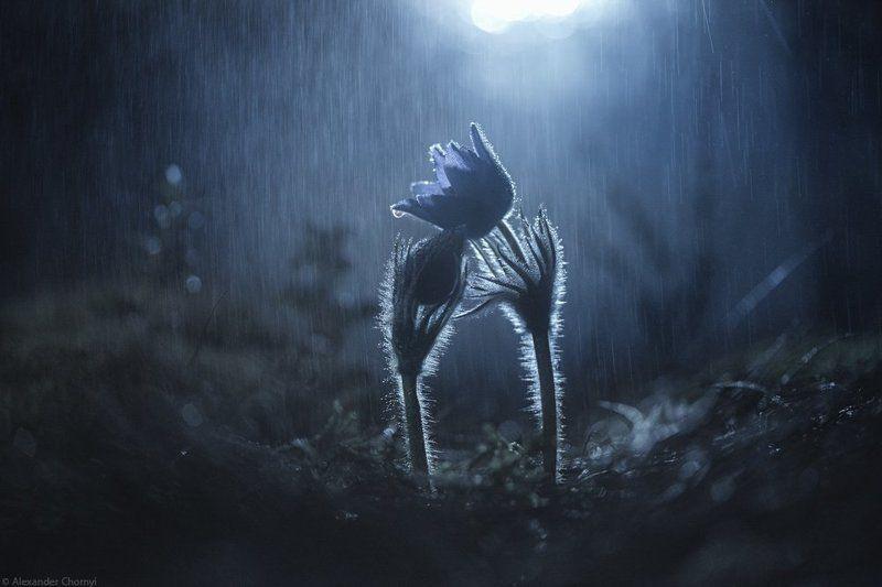 макро, макро красота, макро мир, макро истории, природа, украина, коростышев, сон-трава, лес, мох, весна, любовь, закат, ночь, дождь, романтика,  фотограф, чорный, blacksasha, oleksandr chornyi, Цвести в своем одиночестве...photo preview