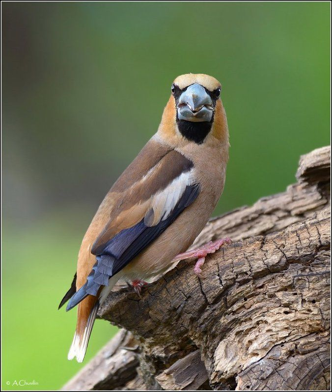 птица,дубонос Дубовый нос )photo preview