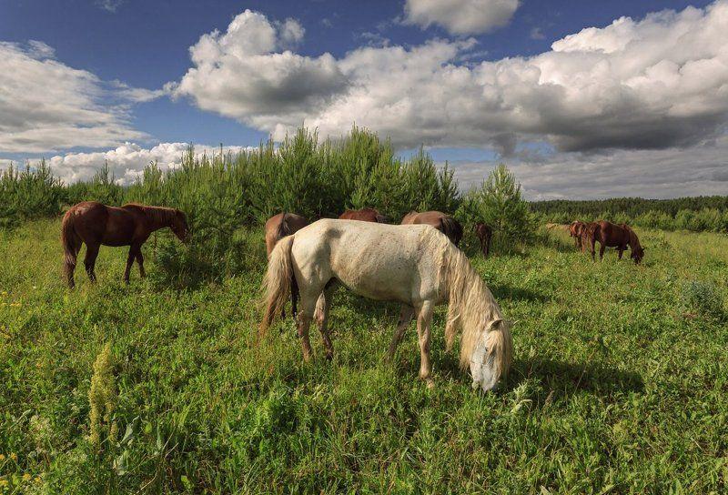 Поле трава лошади лес облака лето Удмуртия Сочная травкаphoto preview