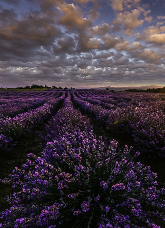 sunset, lavender,flowers,nature,clouds,outdoor,landscape,purple Lavender sunsetphoto preview