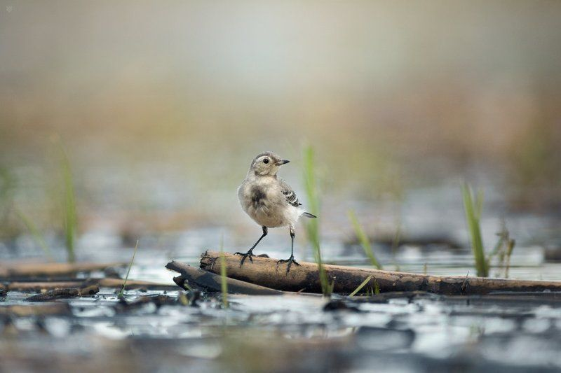 White wagtail, bird, wildlife White wagtailphoto preview