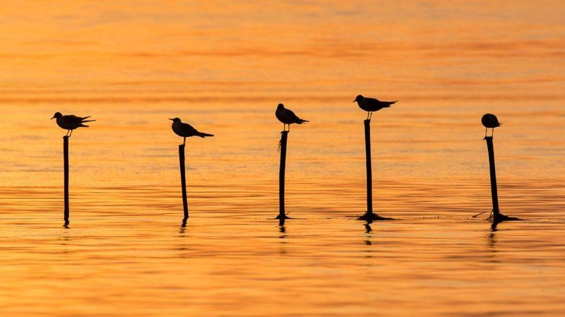 gold, birds, seaguls,  Golden Hour photo preview
