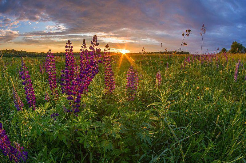 лето вечер солнце люпины деревня цветы люпиновый райphoto preview
