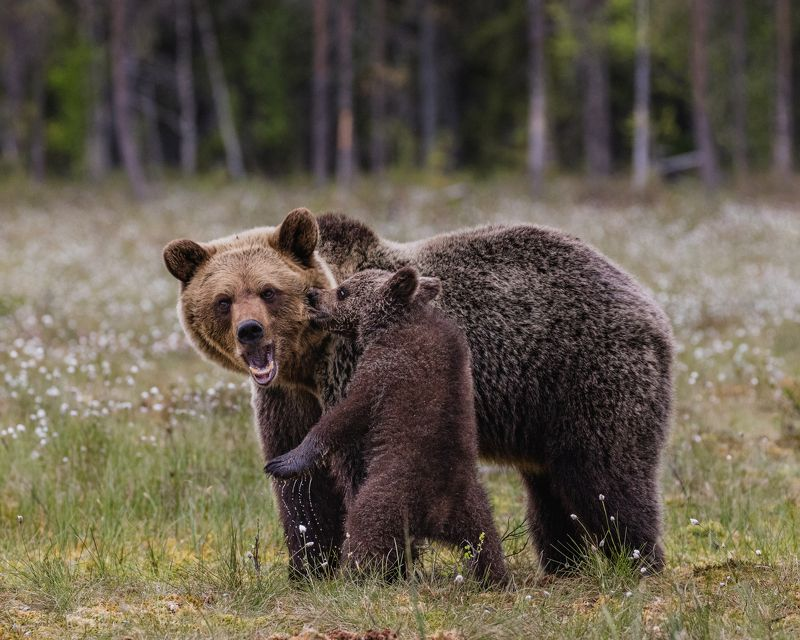 бурые медведи, медвежонок Хулиганphoto preview