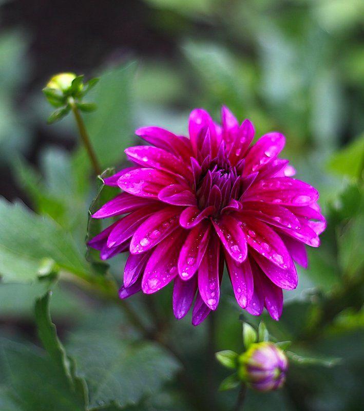 георгины, цветы, dahnia Dahliaphoto preview