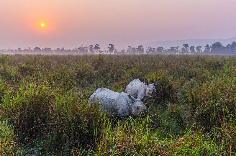 Индия, Ассам, Казиранга, носорог, сафари \