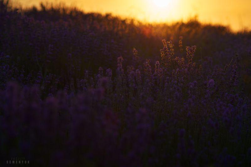 крым, лаванда, закат, настроение, цветы, солнце. В лаванде - Солнце заблудилось.photo preview
