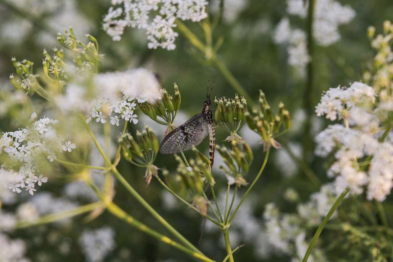 Бабочка однодневкаphoto preview