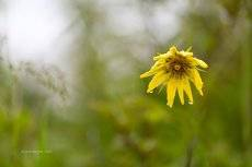 Луговой цветок после дождя,........опечалился