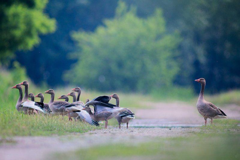 anser anser, wildlife, birds, clan, Greylag goose Greylag\'s clanphoto preview