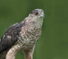 Ястреб купера - Cooper's hawk (Juvenile)