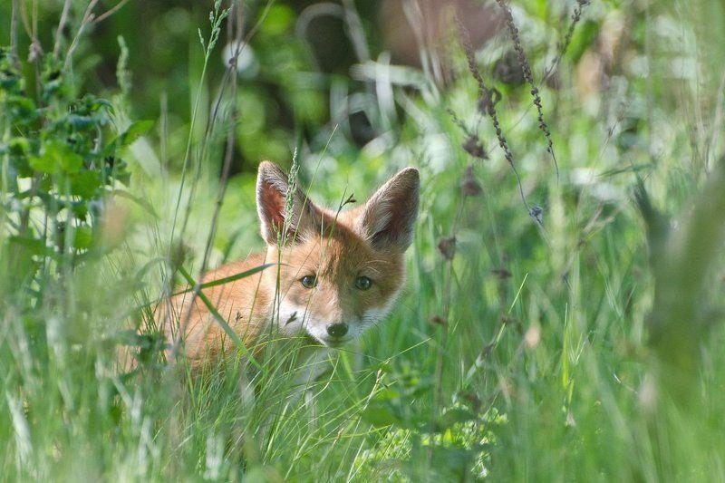 лисёнок В травах июняphoto preview
