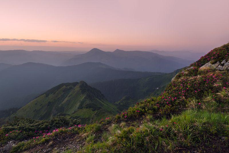карпаты, мармаросы, гора фаркеу, рододендрон ***photo preview